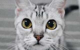 Американская короткошёрстная кошка – фото, описание, содержание, питание, купить