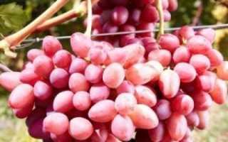 Виноград София: описание сорта, фото, отзывы + видео
