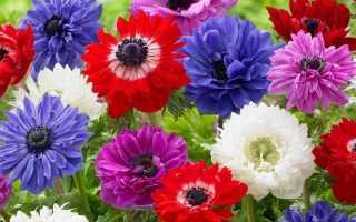 Анемоны – 140 фото цветка, уход