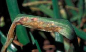 Болезни и вредители лука: фото, лечение и профилактика заболеваний борьба с вредителями лука