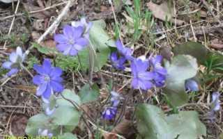 Цветок печеночница обыкновенная и благородная: растение на фото
