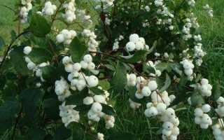 Снежноягодник белый и его лечебные свойства: ядовит кустарник или нет, особенности выращивания