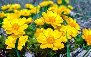 Цветок Адонис — разновидности, описание и применение