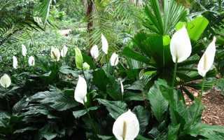 Цветок спатифиллум – размножение, пересадка, как рассадить, видео
