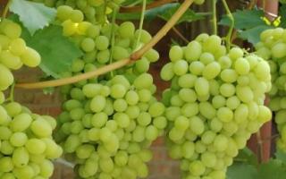 Виноград Ландыш – описание сорта, фото, отзывы