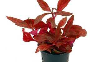 Растение альтернантера: фото цветка, уход и содержание alternanthera в домашних условиях
