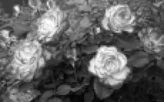Садовые розы флорибунда: фото, название и описание лучших сортов роз флорибунда для Подмосковья
