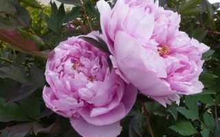 Чем подкормить пионы весной: правила удобрения цветов