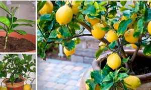 Как опылять лимон в домашних условиях — как опыляется лимонное деревце в период цветения — 22 ответа