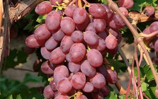 """Виноград """"Виктория"""": описание сорта, фото, отзывы"""