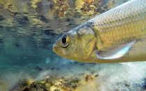 Омуль – где водится эта рыба, нерест и чем отличается сиг от омуля
