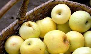 Яблоня Медовое: описание сорта, посадка, отзывы
