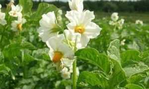 Картофель Метеор: описание сорта, характеристика, правила выращивания, отзывы