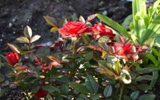 Роза Кордана: уход после покупки