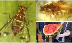 Как избавиться от дынной мухи: химические средства и профилактика