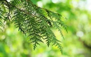 "Дерево ""Кипарис"": описание, фото, посадка и уход в домашних условиях"