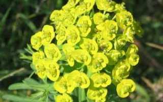 Мужик-корень: применение и полезные свойства растения