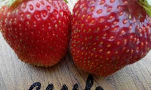 Клубника Сельва: описание сорта, отзывы, правила выращивания, защита от вредителей, видео, фото