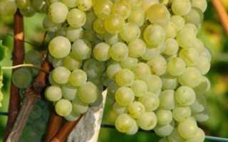 Виноград Бианка: описание сорта, фото, отзывы