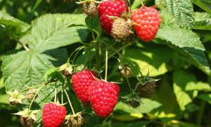 Химбо топ малина: описание сорта, фото, урожайность с одного куста