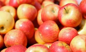 Яблоня «Хани Крисп» (18 фото): описание сорта яблок и отзывы садоводов, на каком расстоянии осуществляется посадка