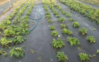 Агроволокно для клубники: выбираем правильный спанбонд для выращивания ягодных кустов