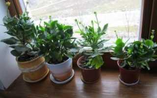 Каланхоэ: размножение в домашних условиях листом и черенками