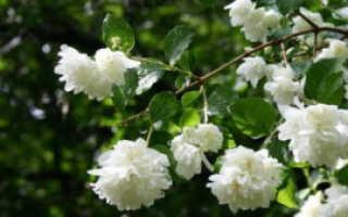 Уход за жасмином (чубушником) осенью – удобрение, обрезка и укрытие на зиму