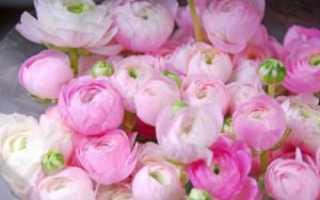 Названия цветов похожих на пионы