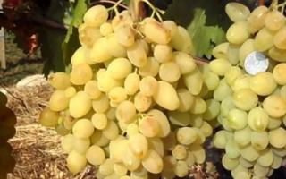 """Подробное описание ухода за сортом винограда """"Долгожданный"""", отзывы о нем от реальных виноградарей"""