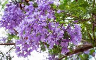 Жакаранда, палисандровое дерево или джакаранда: где растет, как выглядит и можно ли вырастить самостоятельно