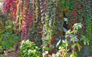 Виноград Вичи: описание растения и особенности выращивания, правильная посадка и уход