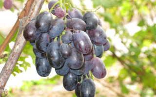 Сорт винограда Орда: описание, особенности, характеристики