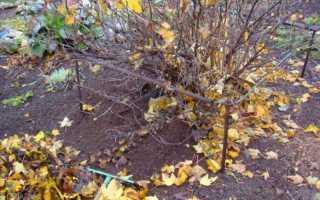 Обработка крыжовника после сбора урожая осенью – видео