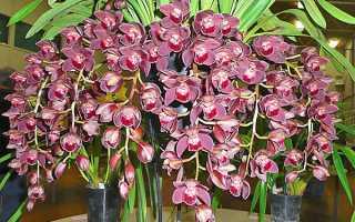 Орхидея Цимбидиум: уход в домашних условиях, пересадка, болезни, полив