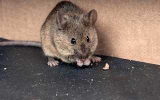 Как избавиться от мышей на даче навсегда: эффективные советы