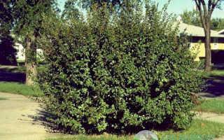 Кизильник блестящий: посадка и уход, размножение черенками, живая изгородь из кизильника, фото