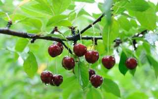 Удобрения для вишни осенью, обработка и подготовка к зиме