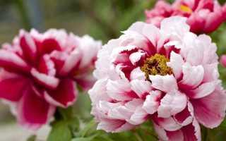 Когда пересаживать пионы – осенью или весной