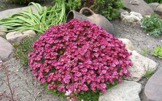 Камнеломка – посадка, уход и выращивание в открытом грунте