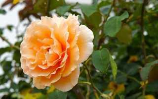 Роза канадская парковая сорта, посадка и уход в саду