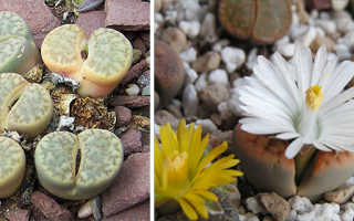 Как ухаживать за живыми камнями в домашних условиях?