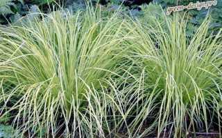 Декоративная осока — растение, которое выглядит как трава, растёт на влажных и болотных участках