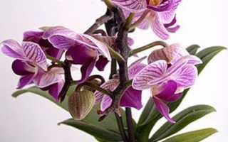 Фаленопсис Мини Марк: основы ухода за орхидеей в домашних условиях, а также большое количество красочных фото