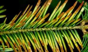 Шютте — болезнь хвойных пород: диагностика и лечение