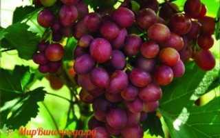 Сорт винограда малиновый супер: описание