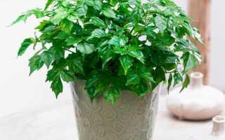 Радермахера – 70 фото декоративно-лиственного комнатного растения