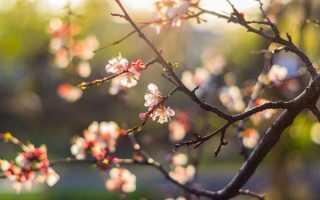 Способы оживления замерзшей вишни