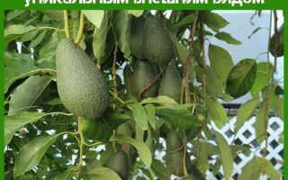 Дерево авокадо – это фрукт: как выглядит дерево авокадо?