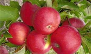 Яблоня Медуница: описание сорта с фото и видео, отзывы